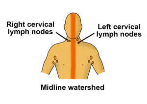 Watershed areas of lymph drainage